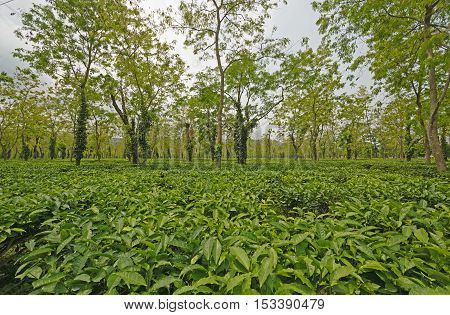 Tea Plantation in India in Assam India