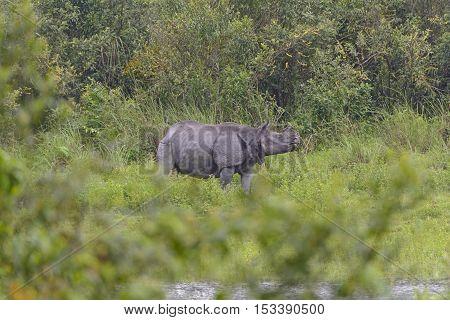 Indian Rhino in the Wilds of Kaziranga National Park in India