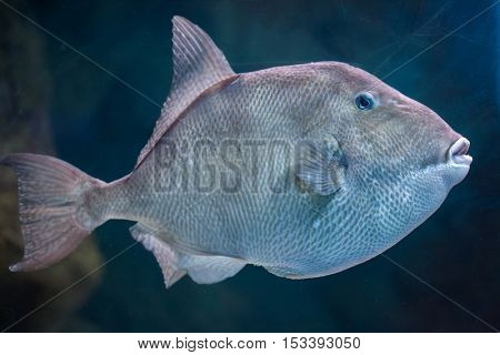 Grey triggerfish (Balistes capriscus). Marine fish.