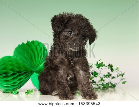 Cute Black Poodle Puppy on a green background with a Decorative Shamrock for Saint Patrick's Day