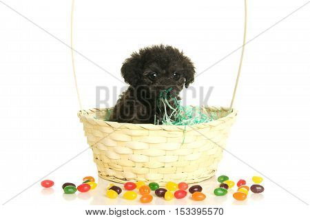Cute Black Poodle Puppy in an Easter Basket with jelly beans on a white background