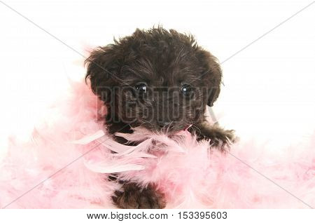 Cute Black Poodle Puppy with a pink feather boa on a white background