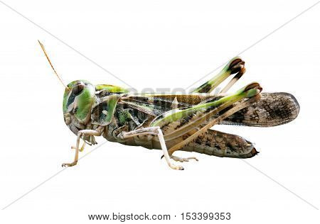 Locust close up macro portrait isolated on white