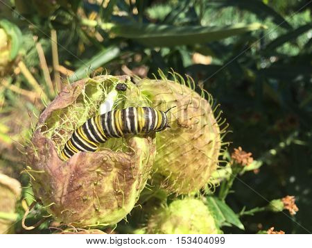 White Black And Yellow Monarch Caterpillar