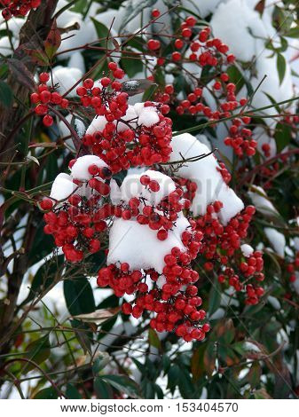 Wild red berries against a back ground of snow.