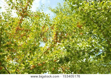 Ginko (Ginkgo biloba, also known as maidenhair tree) with enormous number of Ginkgo nuts or seeds growing on the branches.