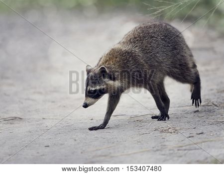 Wild Raccoon Walking in Florida Wetlands