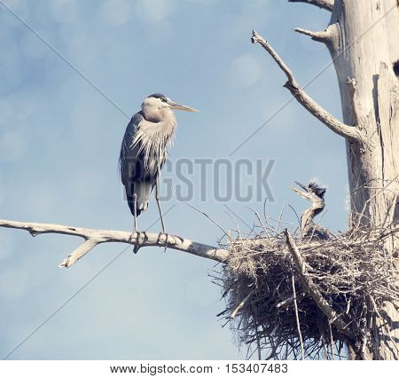 Great Blue Herons in the Nest , adult and baby