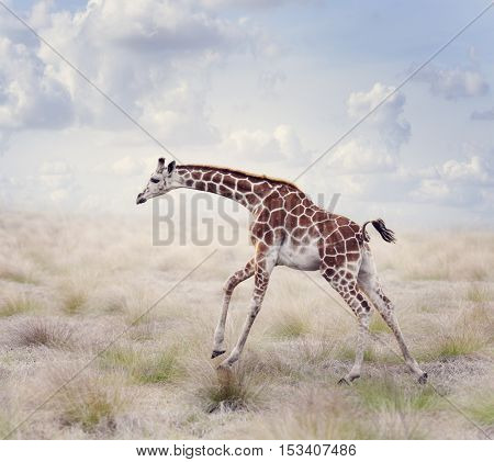 Young Giraffe Running in a Grassland