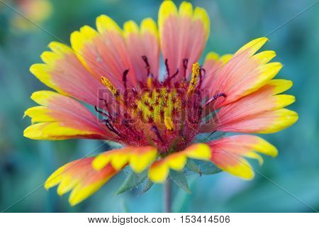 Blanket Flower Or Gaillardia Flower