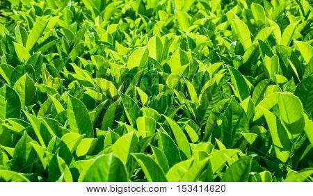 Green leaves texture. Fresh green leaves background