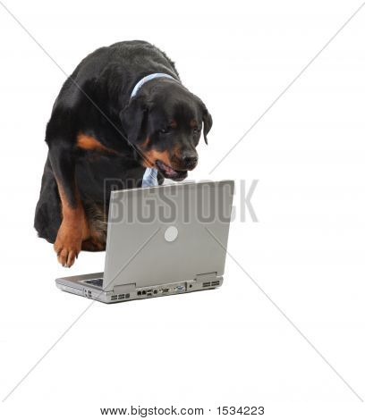 Dog Staring At The Computer