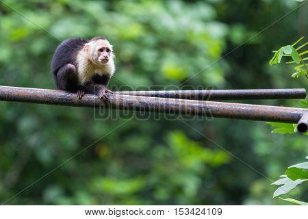 White Headed Capuchin Monkey