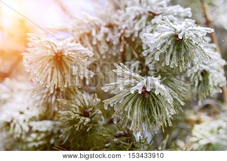 The frozen droplets of ice on pine needles. Macro photo, shallow depth of field. Winter forest. Illuminated low winter sun.