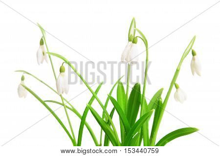 Spring snowdrops flower isolated on a white background