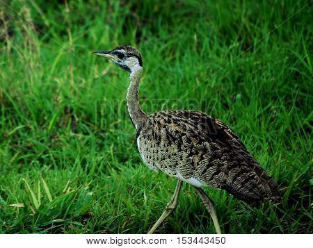 Red-throated Francolin in a Tanzanian park african