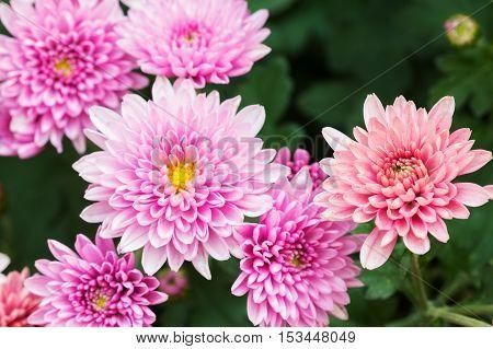 Beautiful Chrysanthemum Flowers, Closeup Chrysanthemum For Background.