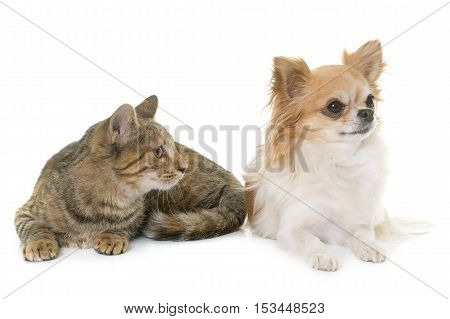 tabby kitten and chihuahua in front of white background