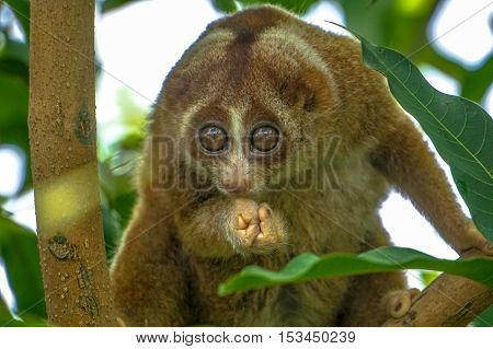The beautiful Slow Loris on tree with green leaf as background.The slow loris is now among the world top 25 most endangered primates & its taken from the wild to sell as pets at cruel animal markets