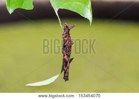 Blue Begum Caterpillar