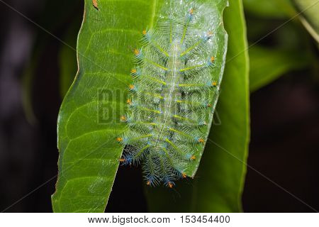 Common Archduke Caterpillar