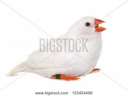 white Zebra finch in front of white background