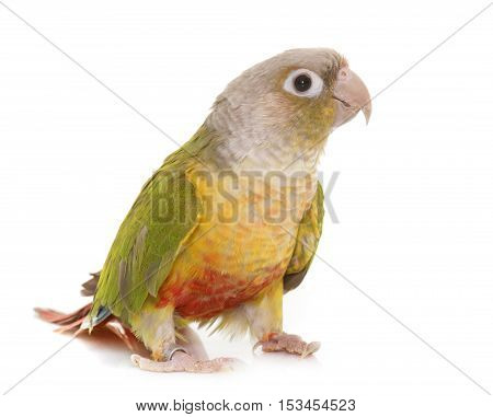 colorful conure in front of white background