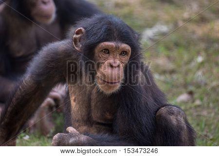 Chimpanzee at a zoo - portrait closeup shot.