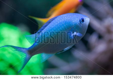 Green ?hromis (Chromis viridis), also known as the blue green damselfish. Wildlife animal.