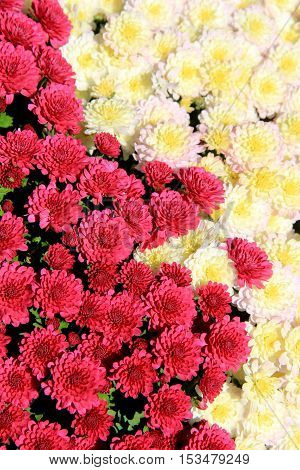 Pretty image of Hardy Mums and Asters in white and pink colors