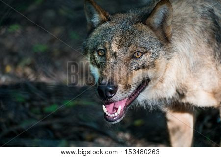 A hungry wolf looking toward the camera with its mouth open