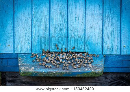 Closeup of blue beehives with bees outside
