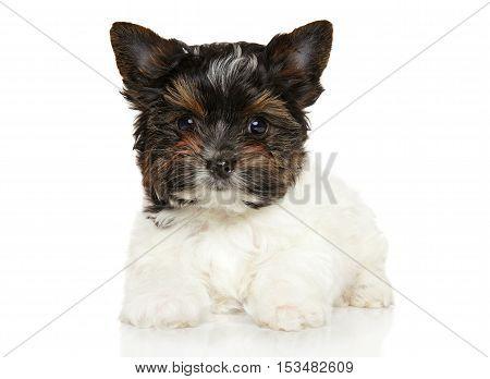 Close-up Of Biewer York Puppy