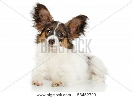 Papillon Dog Puppy