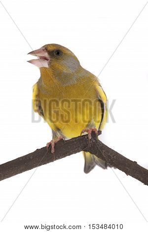 European Greenfinch isolated on a white background