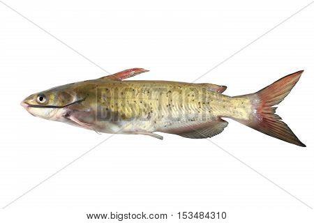catfish isolated on a white background, studio shot