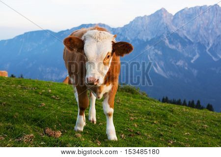 Little cow calf on a background of mountains Alps