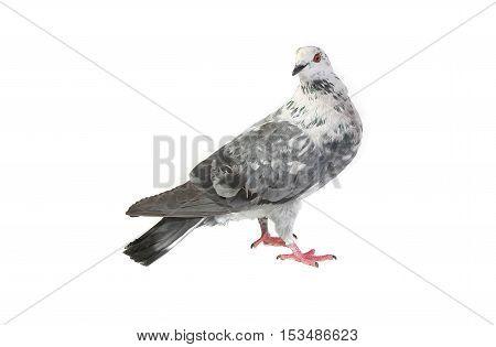 Gray Dove