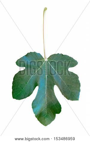 Green fig leaf isolated on white background; vertical, upside down