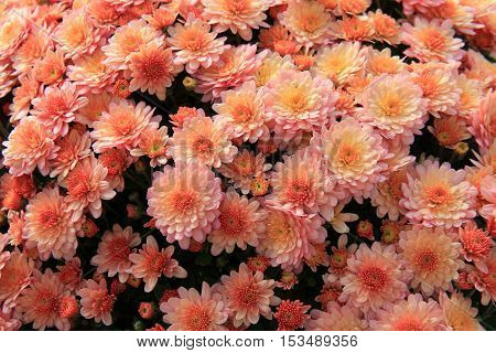 Beautiful background of Hardy Mums in a warm peach color.