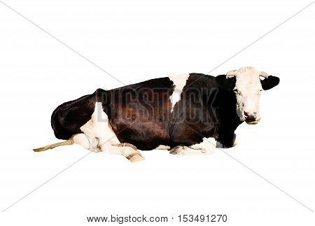 black cow isolated on white background, studio shot
