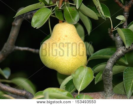 last pear this fall on trees in orchards