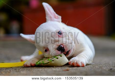 Dog obesityYoung french bulldog white a nibble toys on the cement floor.