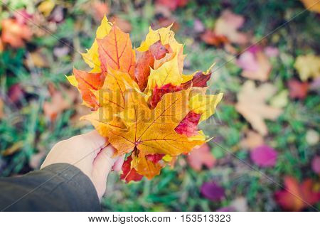 Bouquet of colorful autumn maple fallen leaves in woman hand. Red and orange autumn leaves background. Colorful and bright background with fallen autumn leaves. Autumn fall scene. Selective focus.