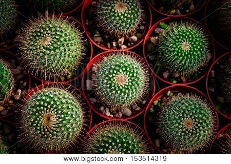 cactus in desert cactus on rock cactus Nature green background or wallpaper domestic cactus closeup. cactus tree