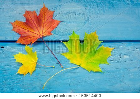Autumn leaf life cycle. Autumn background with colorful fall maple leaves on blue wooden table. Life cycle of fall leaf. Thanksgiving holidays concept. Green, yellow and red autumn leaves. Top view.
