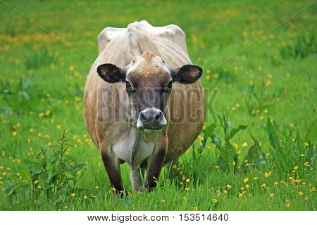 Cow grazing on grass in a field