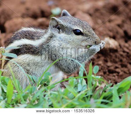 Cute Squirrel Funambulus (palmarum eating) in the city park