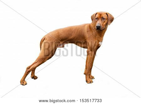 Rhodesian ridgeback on white.  The Rhodesian ridgeback is on white background.