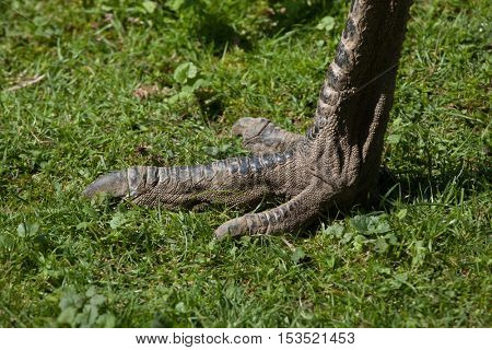 Foot of emu (Dromaius novaehollandiae). Wildlife animal.